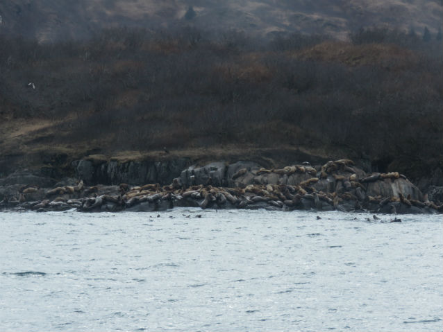Steller sea lions hauled out in Kukak Bay