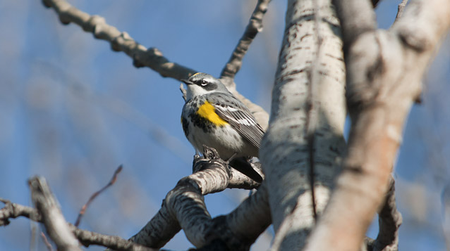 a yellow and grey bird sits on a tree branch
