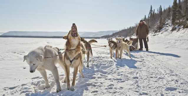 Dog-mushing in the Yukon