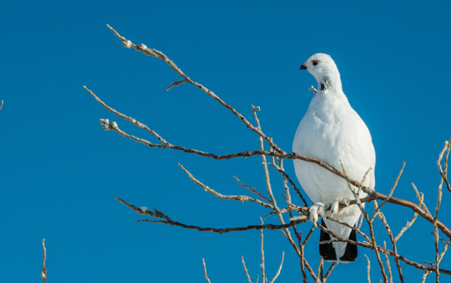 a white ptarmigan sits on a branch of a tree