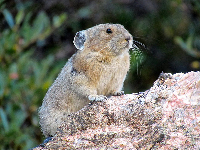 A pika perches on a rock