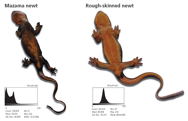 Underside comparison of Mazama and rough-skinned newts