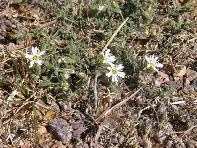 Sandwort drymary plant with several small white flowers