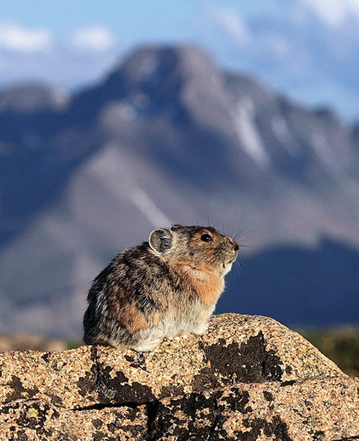 American pika (Copyright Dick Orleans)