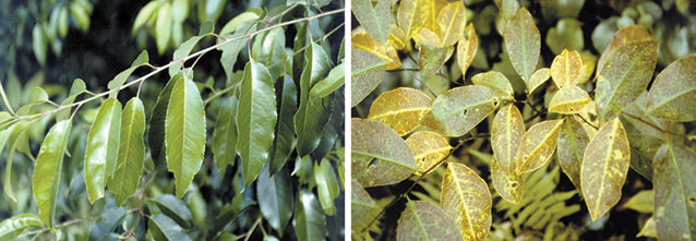 Comparison of healthy black cherry leaves on the left and ozone-injured leaves on the right