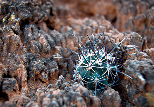 A cryptobiotic soil crust at Arches National Park is home to a young fish hook cactus