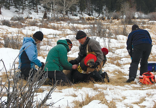Scientists collect biological samples and attach a radio-collar on an anesthetized elk