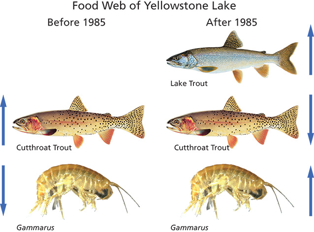 Illustration of tropic cascade in food web of cutthroat trout, lake trout, and invertebrates