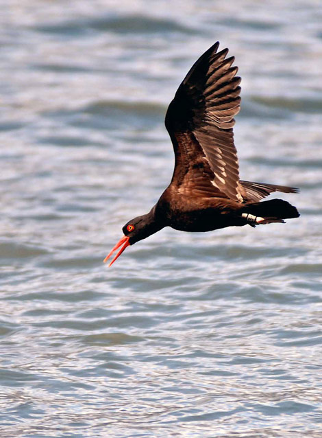 a black bird with red bill flying over the ocean