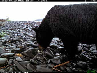 a black bear eating eggs on a rocky beach