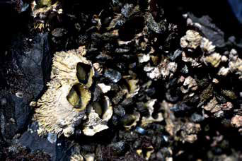 mussels and barnacles on rocks