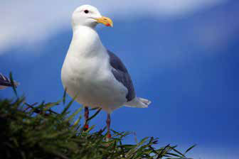Glaucous-winged Gull Monitoring and Egg Harvest in Glacier