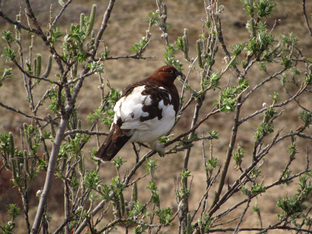 a white and brown bird in a willow bush