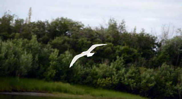 a gull flying over brush