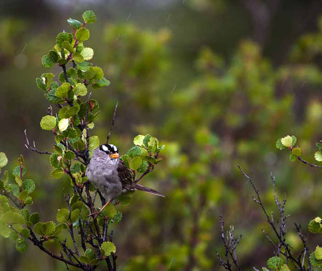 a white crowned sparrow perched in a bush