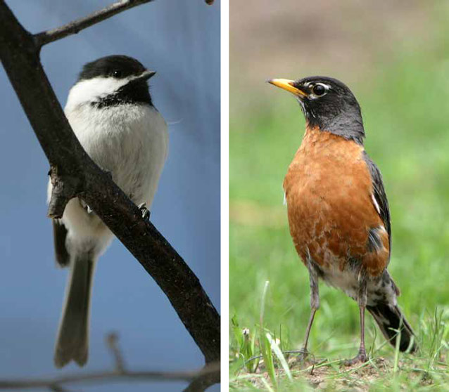 montage of two photos of birds, a black capped chickadee and an american robin