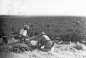 Black and white photo of two workers picking tomatoes in a field