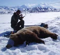 A biologist tests a GPS radio collar on a grizzly bear in Denali.