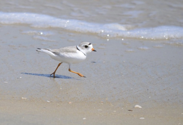 Piping plover running in the surf