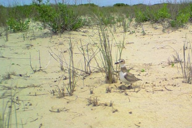 Wilson's plover shading eggs on Ocracoke Island.