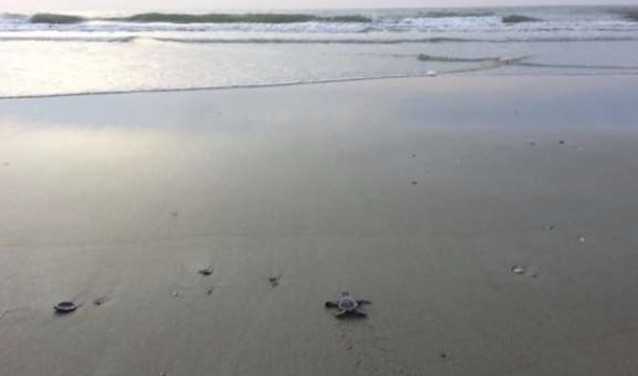 Sea turtle hatchling crawling toward the ocean.