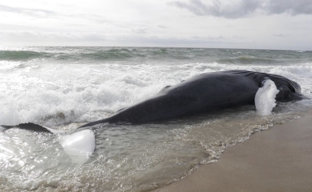 Juvenile humpback whale stranded on the beach.