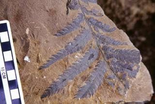 Cretaceous fossil fern from Wrangell-St. Elias  National Park and Preserve.
