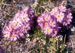 Primula borealis (Primulaceae) a common species known from both sides of the Bering Strait