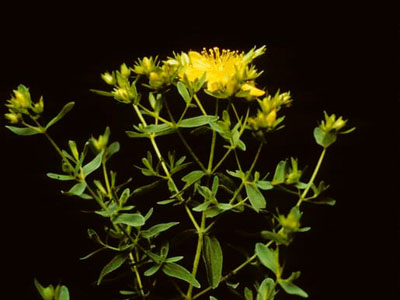Top of a flowering St. Johnswort plant against a dark background