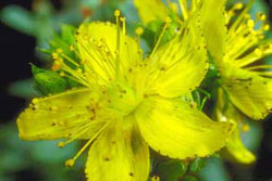 Close-up of bright yellow St. Johnswort flowers
