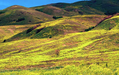 A landscape of rolling hills largely covered in bright yellow dyer's woad