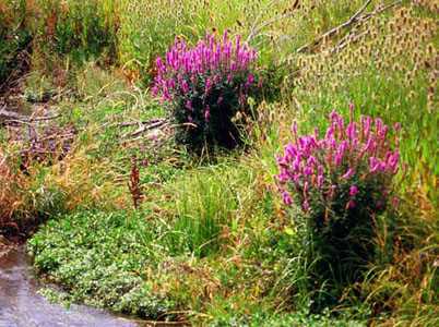 Two clusters of flowering purple loosestrife