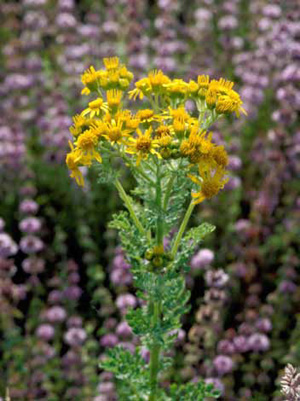 Clusters of small yellow flowers atop a tansy ragwort plant