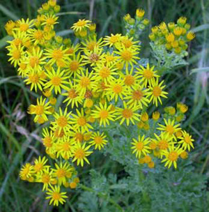 Cluster of tansy ragwort flowers from above