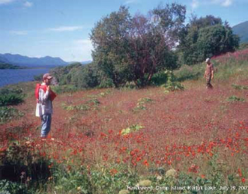 man standing in a red field of orange hawkweed