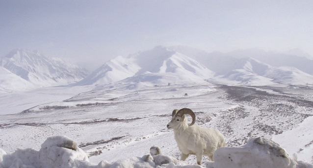 a Dall's sheep stands with snowy mountains in the background