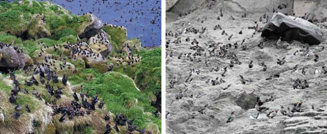 two photos comparing a bird colony, one thrives with vegetation while the other is covered in ash