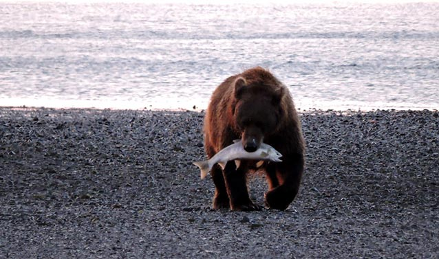 bear walking on a rocky beach holding a large salmon in its mouth