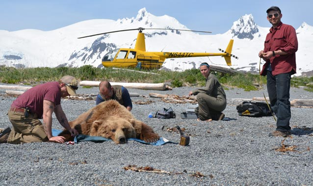 four people and a helicopter near a sedated brown bear