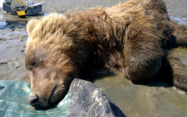 a bear lying unconscious on a sandy beach