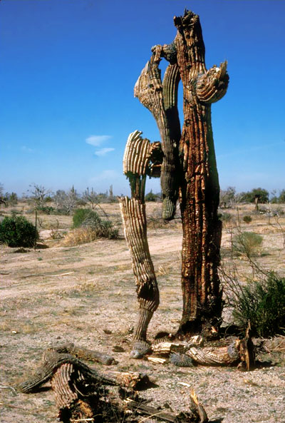 Fire damaged saguaro cacti