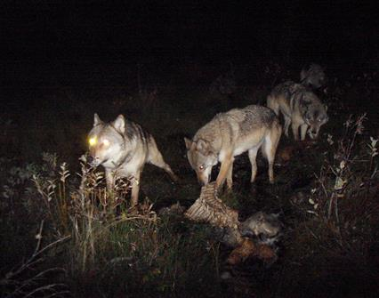 wolves feed on prey at night