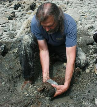 scientist pulls ancient stump from the ground