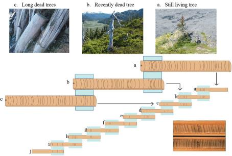 chart of how to match tree rings