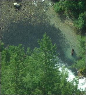 aerial photo of brown bear in river