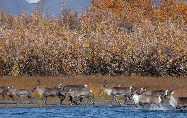 a herd of caribou run across a river with orange-colored shrubs in the background