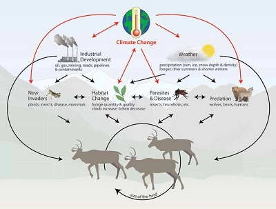 graphic shows climate change's effects on elements of the environment and caribou using arrows