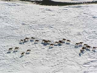 aerial view of a herd of caribou in the snow