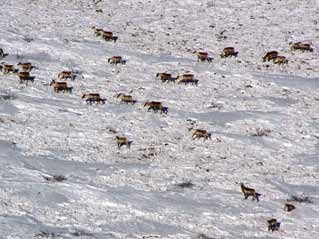 aerial view of caribou in the snow