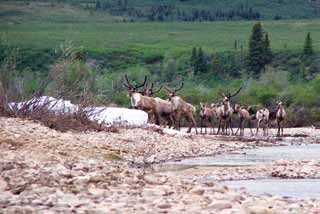 a herd of caribou crosses a gravel riverbed